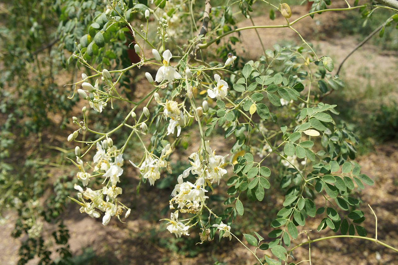 Moringa (Moringa Oleífera): Flores [Crops for the Future]